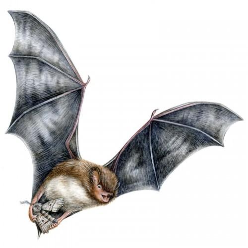 Joanne-Glover_Daubentons-Bat