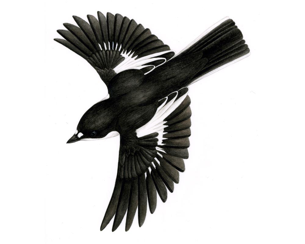 Joanne-Glover_Pied-Flycatcher