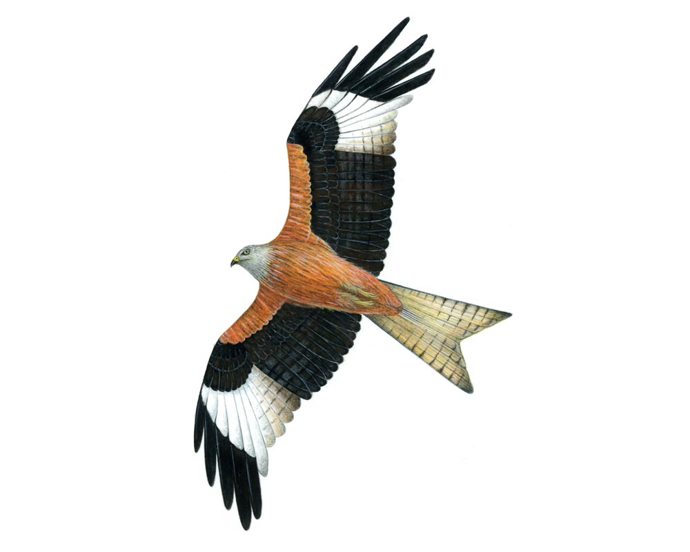 Joanne-Glover_Red-Kite
