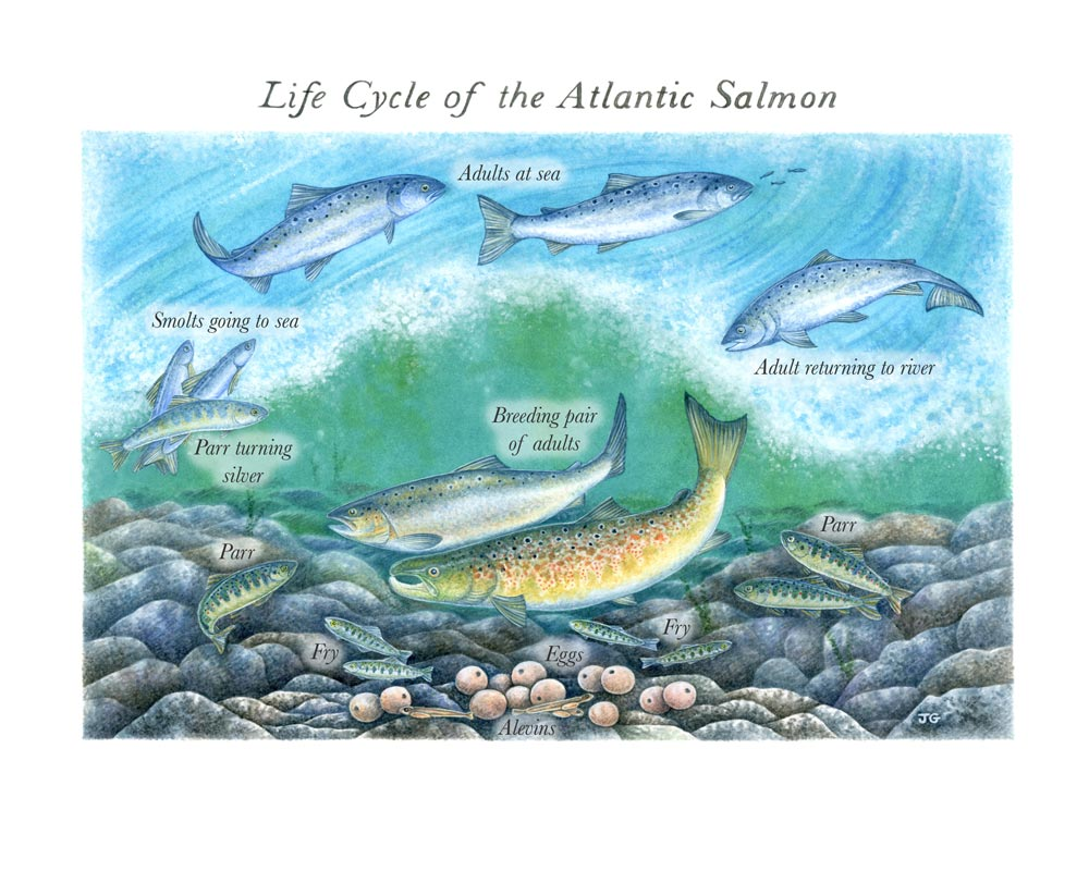 Joanne-Glover_Salmon-Life-Cycle