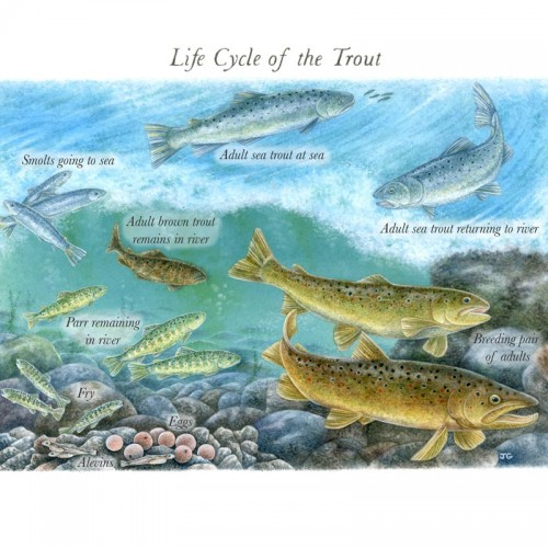 Joanne-Glover_Trout-Life-Cycle